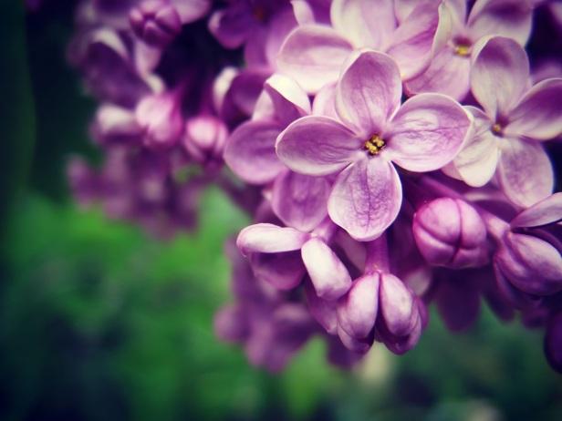 baby purple lilac cropped jennifer